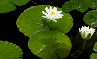 White Waterlilies, Horizontal, Longwood Gardens, 09