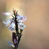 Flowers of Australian native Blunt-leaf Heath