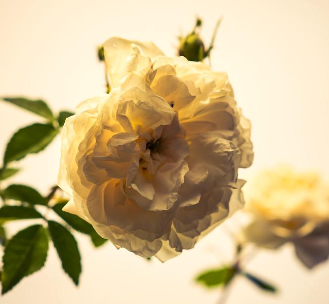 White Rose, Rose Garden Forst, Oberlausitz, Germany