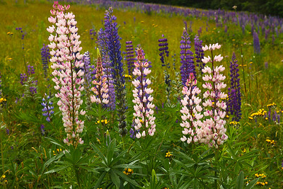 Lupines, Blue Hill Maine