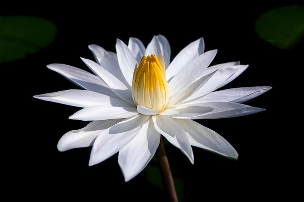 White Lily