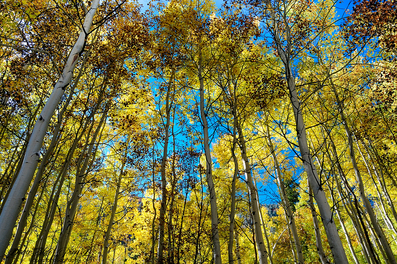 Aspen beauty - Colorado , USA