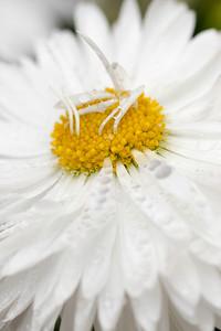 White Daisy Macro 05