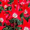 """Pieter de Leur"" Tulip Flower"