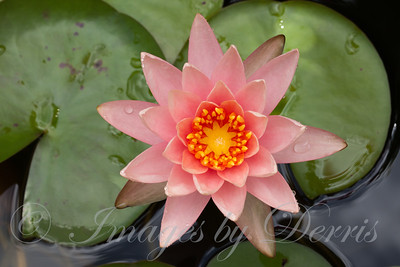 Lily Flower on Pond