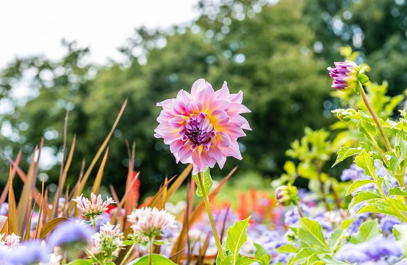 Multicolored Dahlia