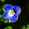 Tiny Blue Flower