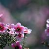 Australian native pink tea tree flowers 2