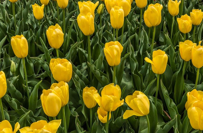 """""""Big Smile"""" Tulip"""