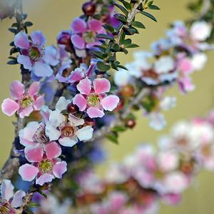 Peach Blossom Tea Tree II