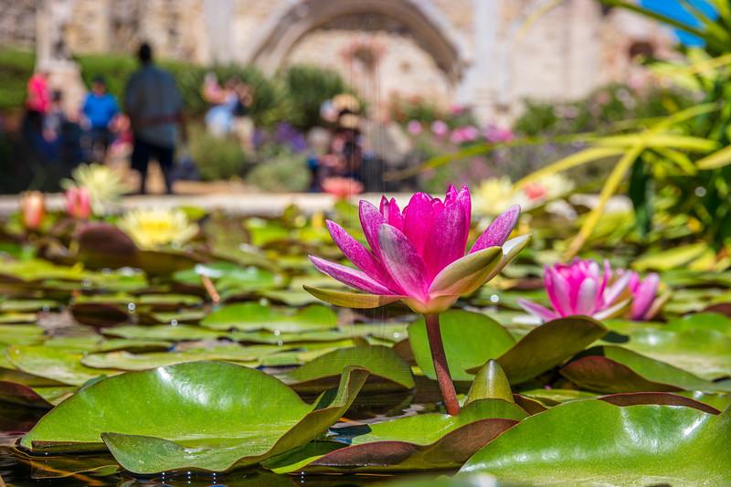 Lotus Flower at Mission San Juan Capistrano.