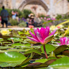 Lotus Flower at Mission San Juan Capistrano.