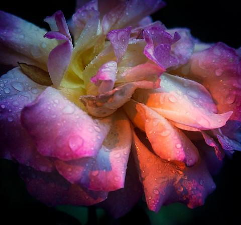 Rose Study VIII