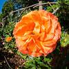 Rose(fisheye)