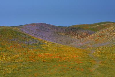 Poppies on hilside. Gorman CA.