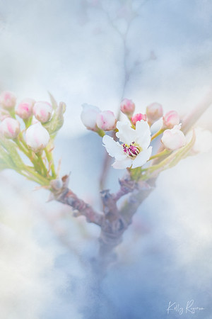 The blossoms are JUST starting to come out this week, and still anxiously awaiting them coming out to full bloom! I love this time of year, things green up, the blossoms come, and the leaves shortly after, making it a relaxing time to enjoy hearing the leaves in the wind again!