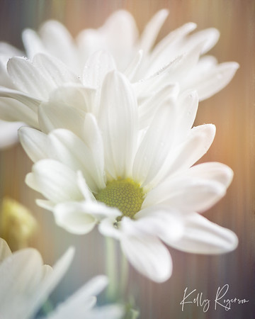 Spring is not far around the corner but thankfully we can enjoy flowers many times through out the year if grown in green houses and indoor climates during the harsh winter. White daisy.