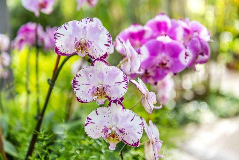 Phalaenopsis Orchid Hybrid
