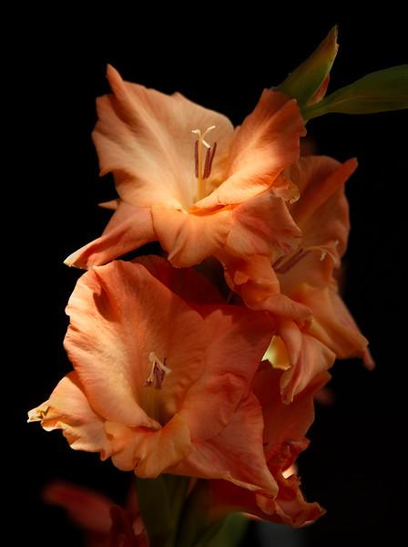Orange Glads II