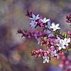 Australian Box-leaf Waxflowers