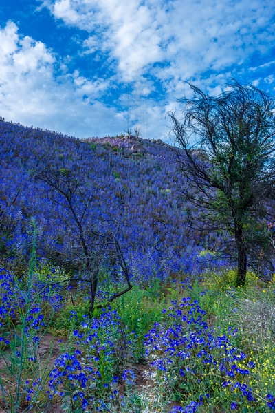Hillside of purple flowers and tree.