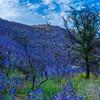 Hillside of purple flowers and tree.