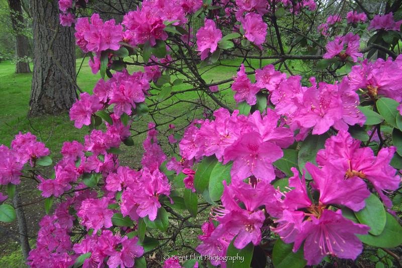 S.4601 - Pacific Rhododendron, Finch Arboretum, Spokane, WA.