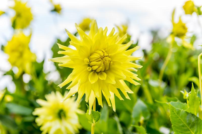 Overexposed Yellow Dahlia