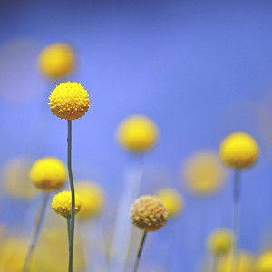Australian Native Billy Buttons