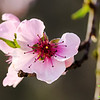 Pink Blossoming Tree Flower