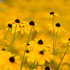 """Black-eyed Susans in Dawson County, GA"""