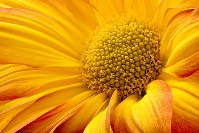 Chrysanthemum flower close-up