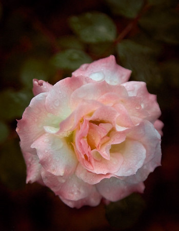 Rose in Early Evening