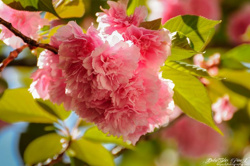 Cherry Blossom @ Spring - Atlanta, Georgia