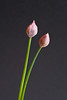 Two Chive Buds, Formal Portrait.