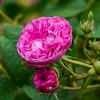 Pink English Rose, Rose Garden Forst, Oberlausitz, Germany