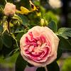 Delicate Pink English Rose, Rose Garden Forst, Oberlausitz, Germany