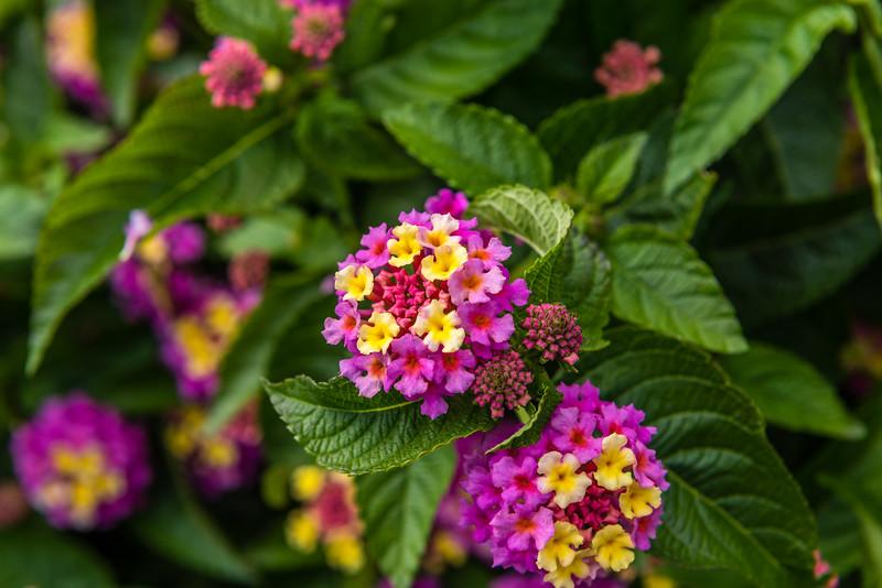 Lanata Flower