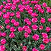 """Carola"" Tulips"