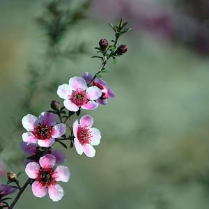 Australian native pink tea tree flowers 1
