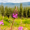 Purple Fireweed Flower