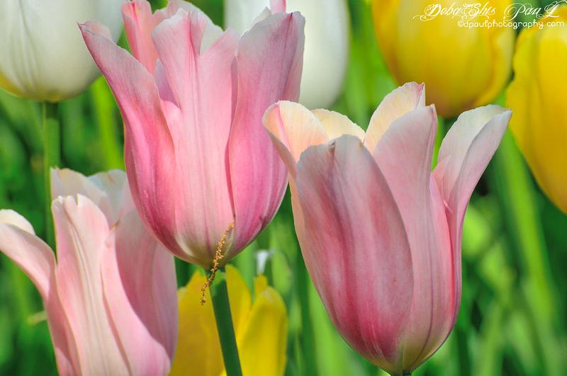 Spring Tulips with the freshness of its colors... @ Atlanta Botanical Garden - Atlanta, Georgia - USA