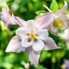 Pink & White Fan Columbine