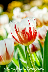 Canada150 Tulip