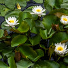 Virginalis Waterlily