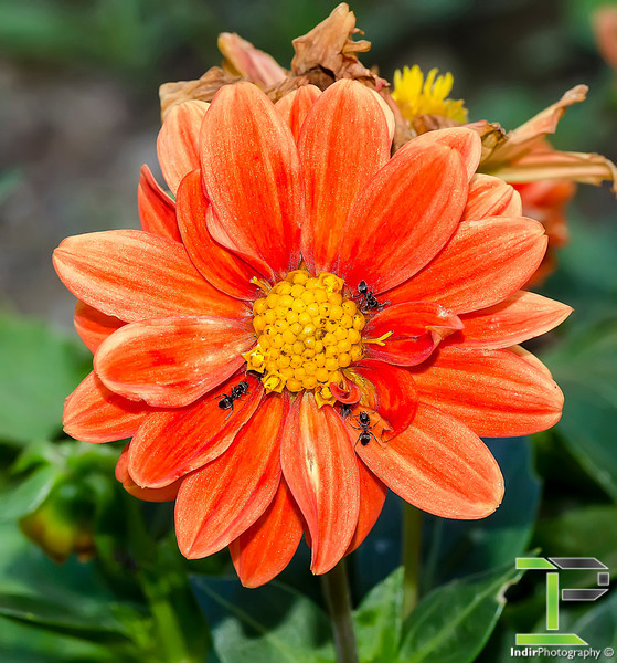 Ants on an Orange Dahlia