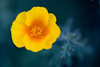 Macro portrait of a California Poppy flower