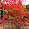 Colorful Japanese Maple Tree @ Fall 2013  @ Gibbs Garden - Georgia, USA