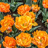 """Orange Princess"" Tulip"