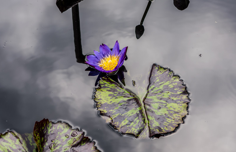 """""""Eve's Solitare"""" Waterlily"""